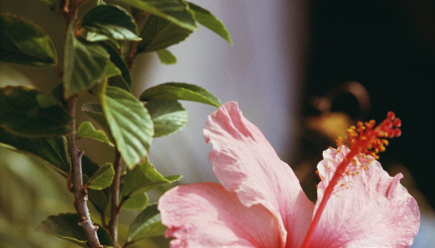 Hibiscus flowers reproduce through pollination and gardener intervention.