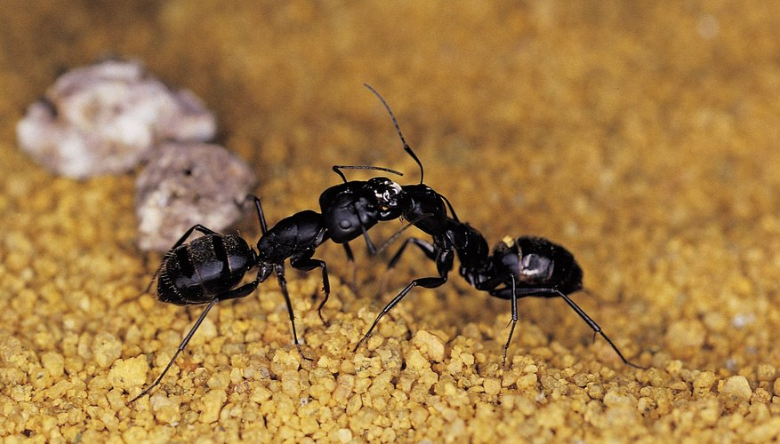 Ants are social insects.