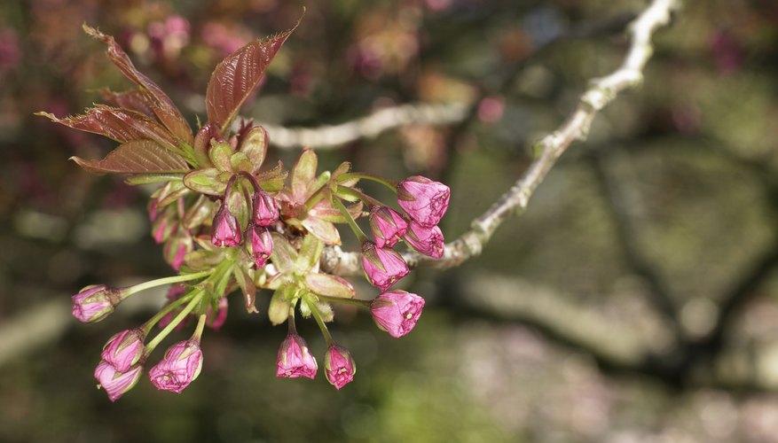 Las flores del cerezo se llaman