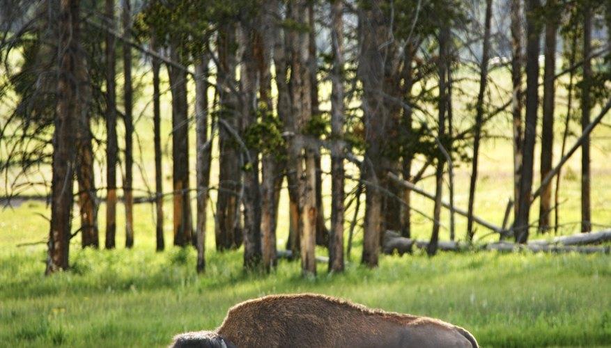 El bisonte macho puede pesar hasta 2.000 libras (453,5 kilos) y las hembras pueden llegar a pesar hasta las 1.000 libras (907 kilos).