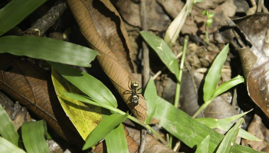 Cómo saber si una hormiga es macho o hembra.