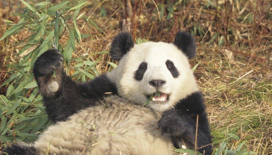 Los pandas gigantes pueden parecer tiernos, pero siguen siendo miembros de la familia de los osos.