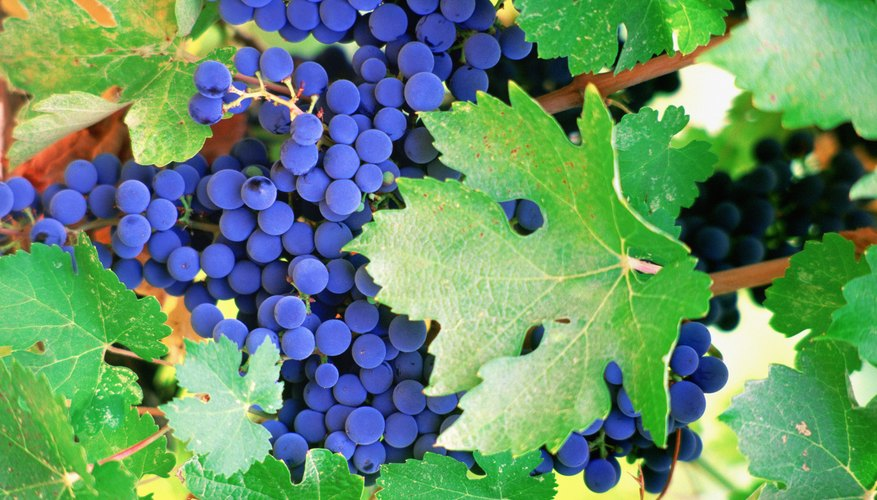 Close-up of grapevine leaves.