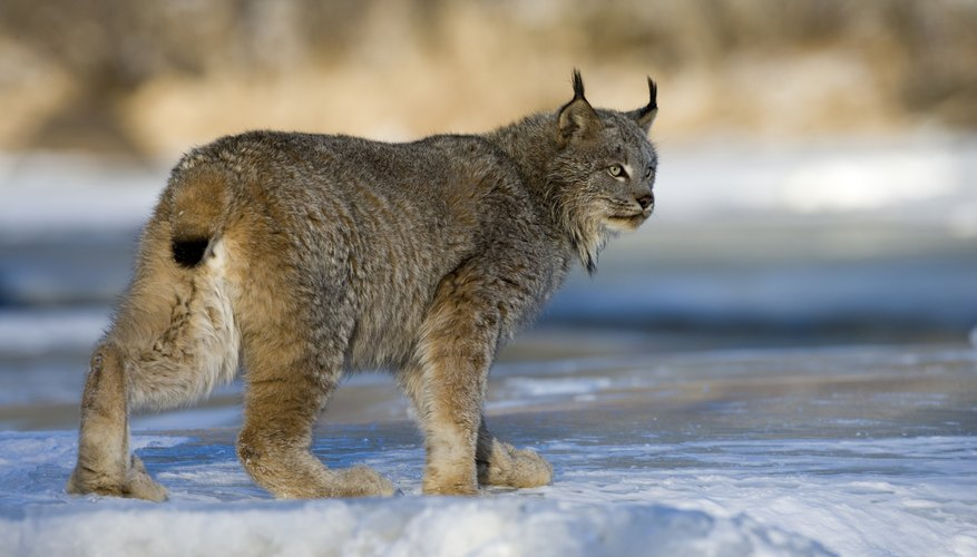 A Canadian lynx walks across the ice and snow.
