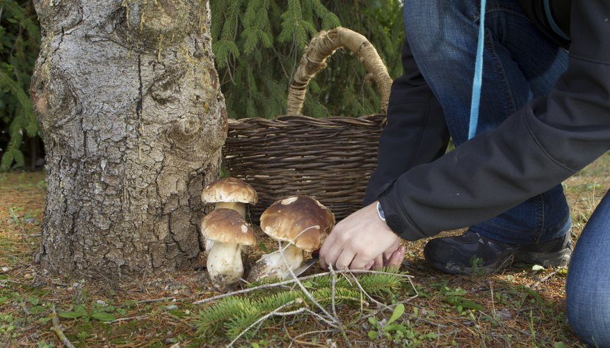 Wild mushrooms being picked near tree
