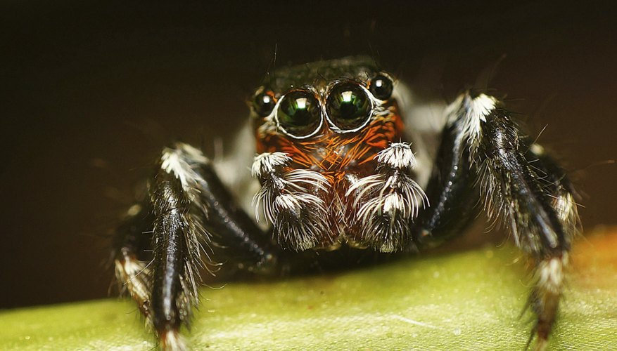 Spiders have a fused head and thorax called a cephalothorax.