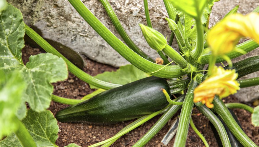 A young zucchini on the vine is ready for picking.