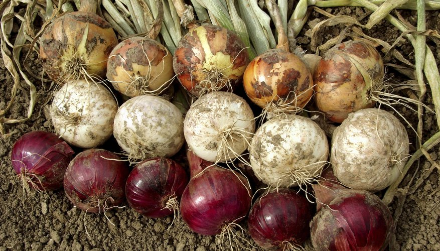 Bulb onions include yellow, white and red varieties.