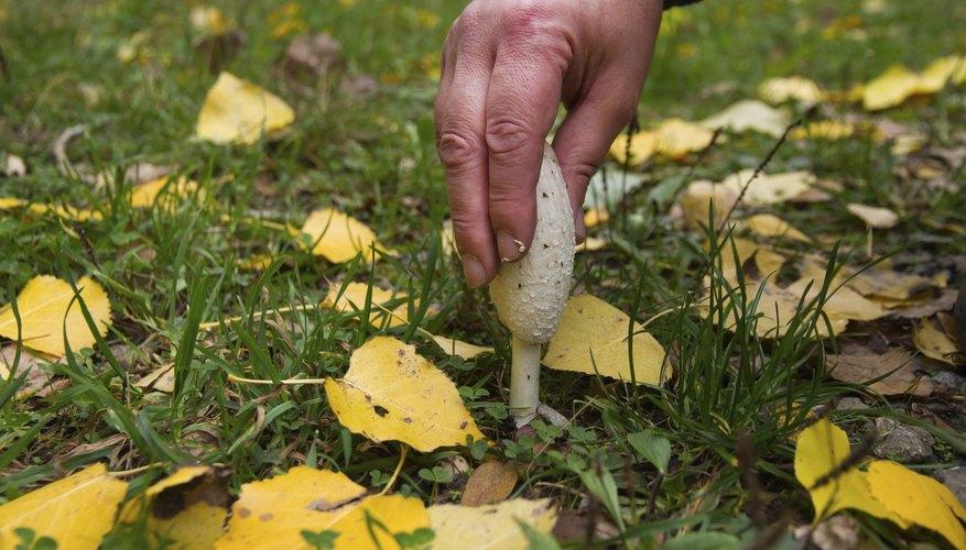Wild mushroom Coprinus comatus picking