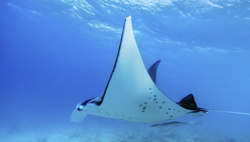 A manta ray swimming through a clear tropical ocean.