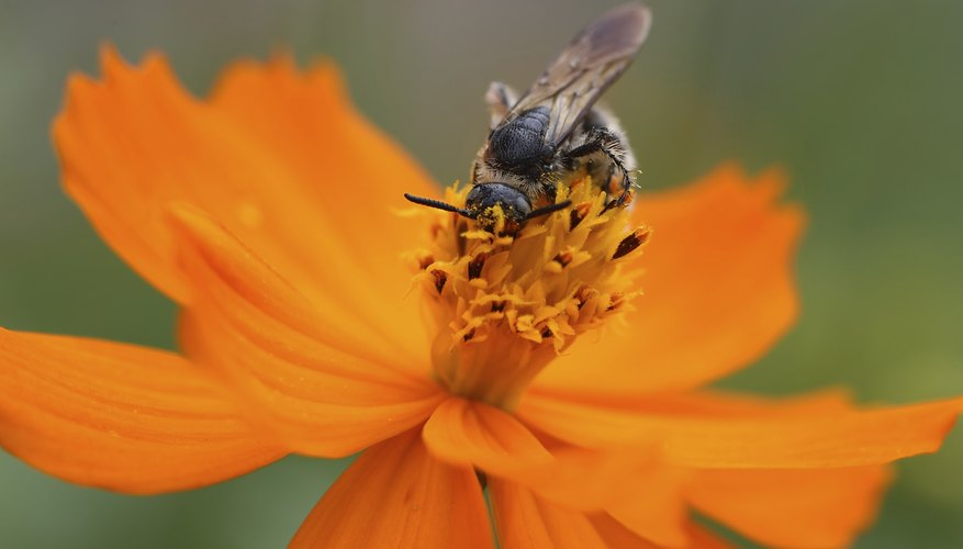 Bee attracted to nectar in orange flower.