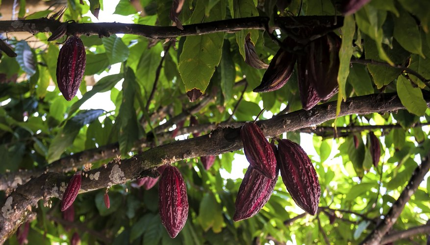 Fruits of the cacao tree are highly valued for chocolate everywhere.