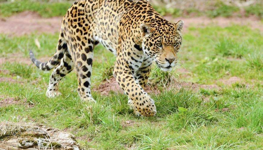 Jaguars are heavily built with massively powerful jaws.