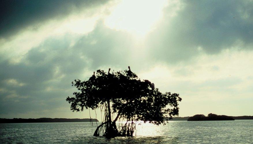 Mangroves thrive in saltwater.