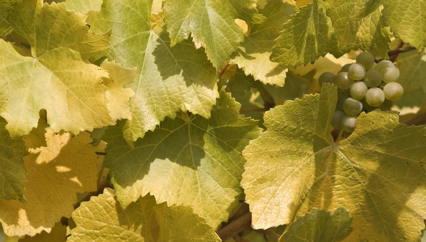 Close-up of yellow grapevines.