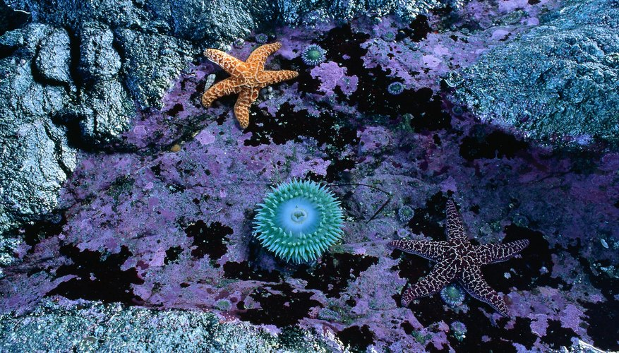 Tide pools frequently provide homes for sea stars and anemones.