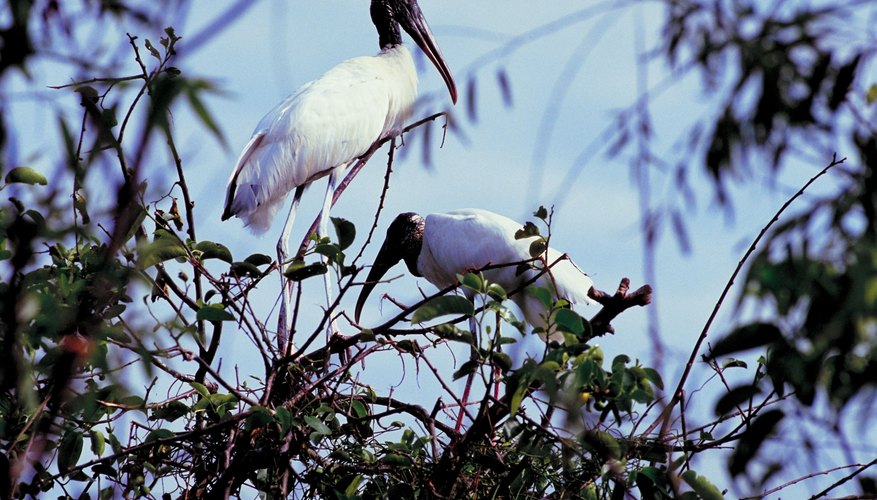 Wood storks employ a highly specialized fishing style in dry-season pools.