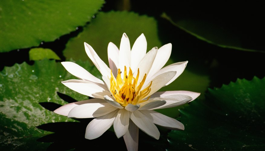 The lotus is a water plant that grows in many parts of the world.