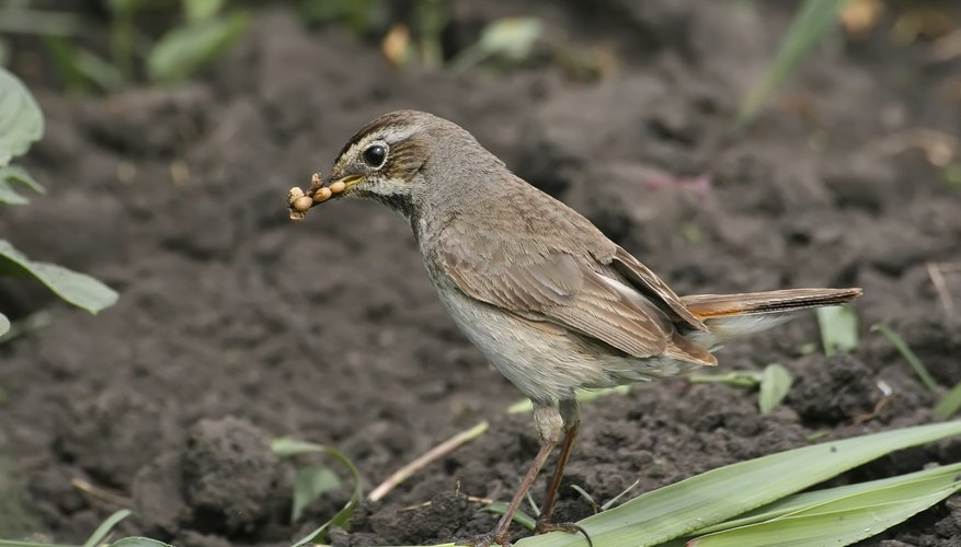 Birds catch other insects and protect ants.