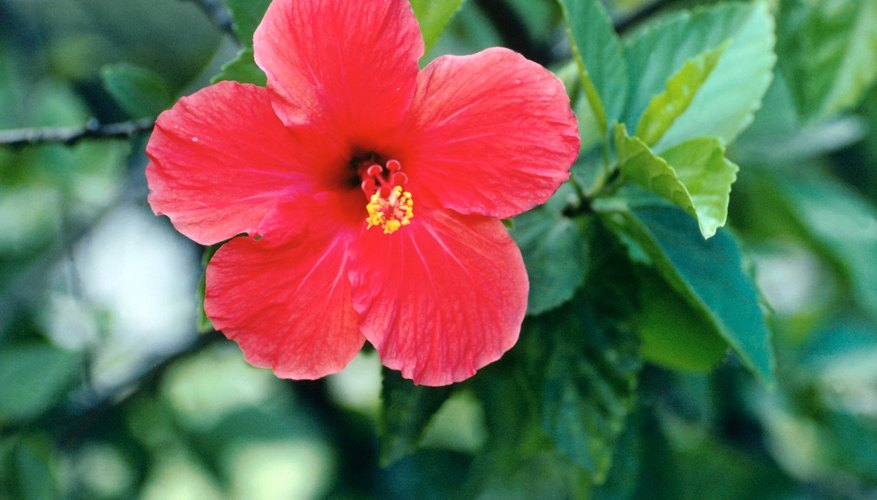 Rose of Sharon is of the family  Malvaceae