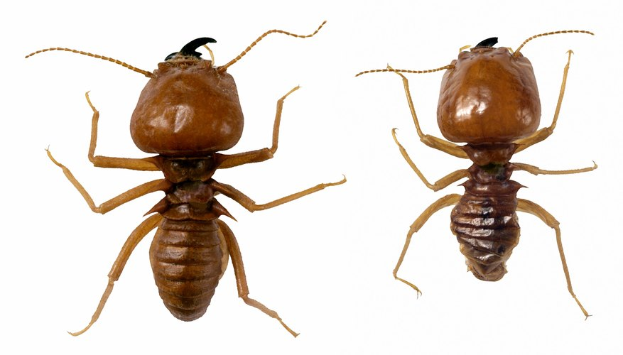 Termites eat through wood in a house, causing structural damage.