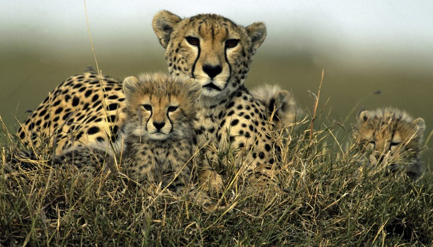 Biotic and abiotic factors are part of a cheetah's environment.