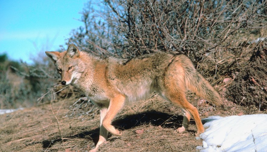 How to Skin & Tan a Coyote
