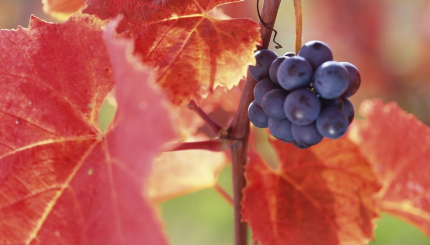 Close-up red grapevine leaves.