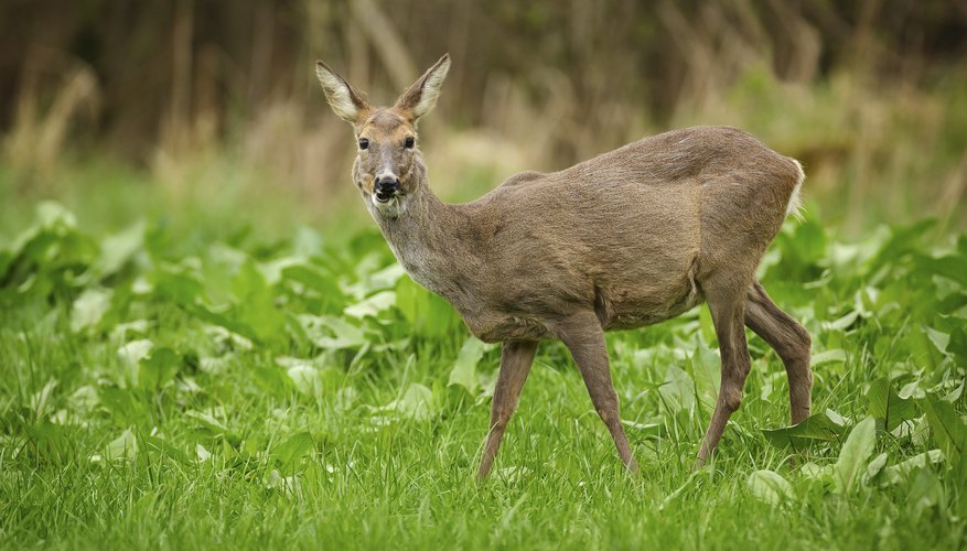 A roe deer grazing in a meadow.