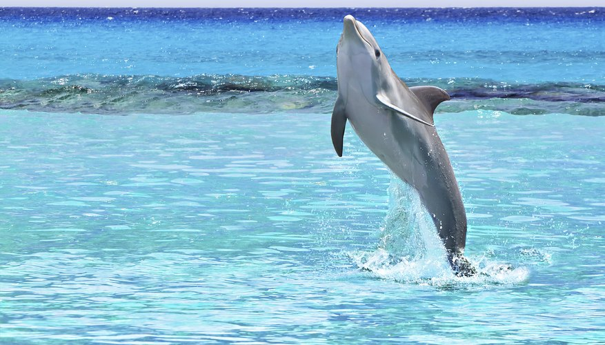 Dolphins have an insulating layer of blubber under their skin.