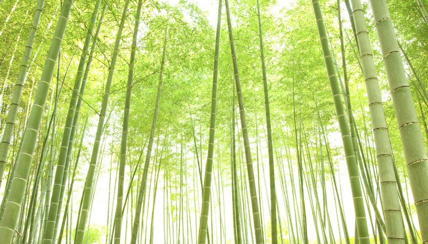 Bamboo is actually a grass that can grow to tree-sized proportions.