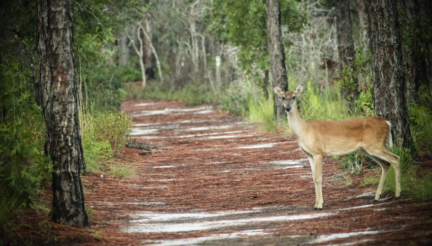 White tailed deer crossing path near North Carolina wetlands