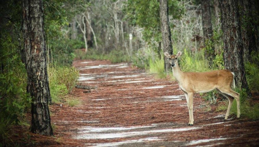 White tailed deer crossing path near North Carolina wetlands