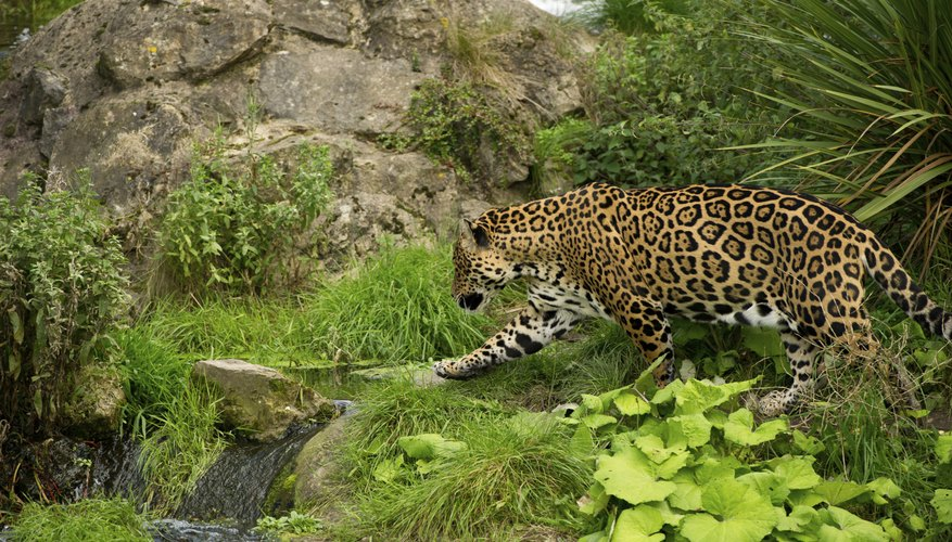 jaguars prey on the Amazon's reptiles and birds