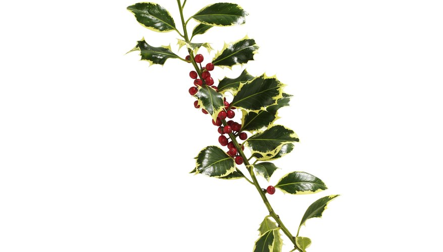 Pagans view holly as a symbol of fertility.