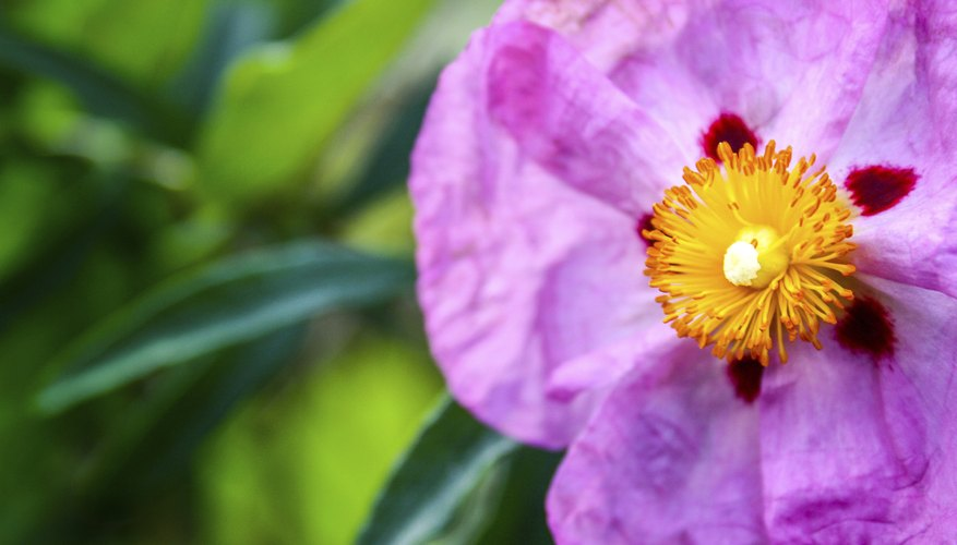 Red-spotted flowers grace the purple rockrose in spring.
