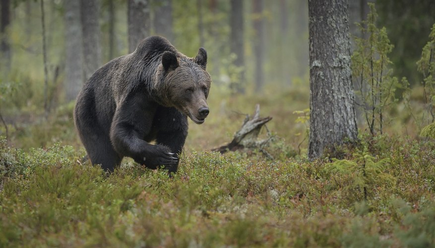A brown bear walking through the boreal forest.