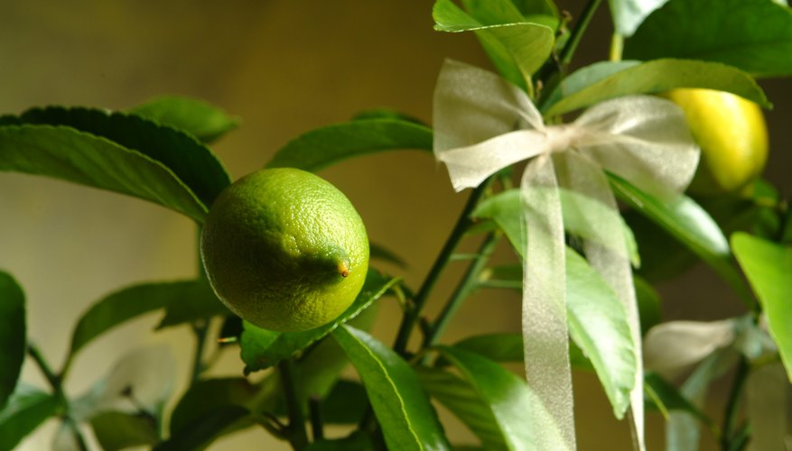 An indoor lemon tree