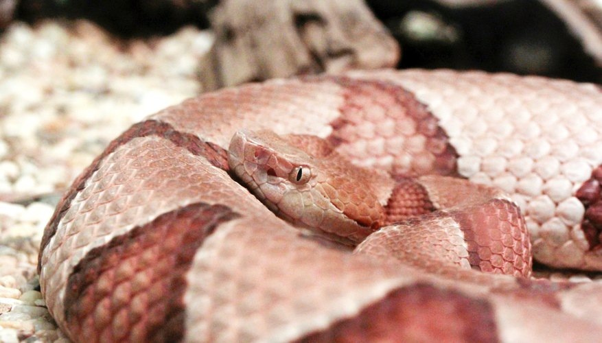 Copperhead snakes are named for the coloration of their heads.