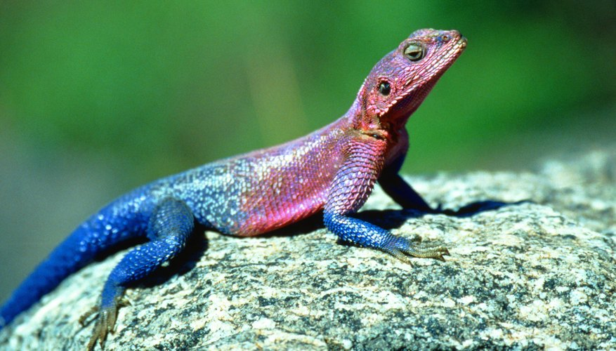 A lizard regulating its body temperature by basking is an example of homeostasis.