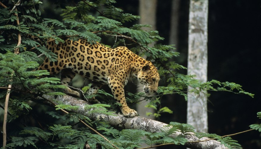 Jaguars are one of the larger mammals that are present in the rainforest.