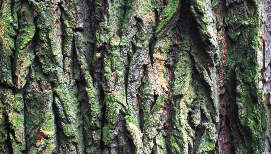 Look at the bark of the tree to see if the bark is smooth and purple-brown with some gray horizontal lines.