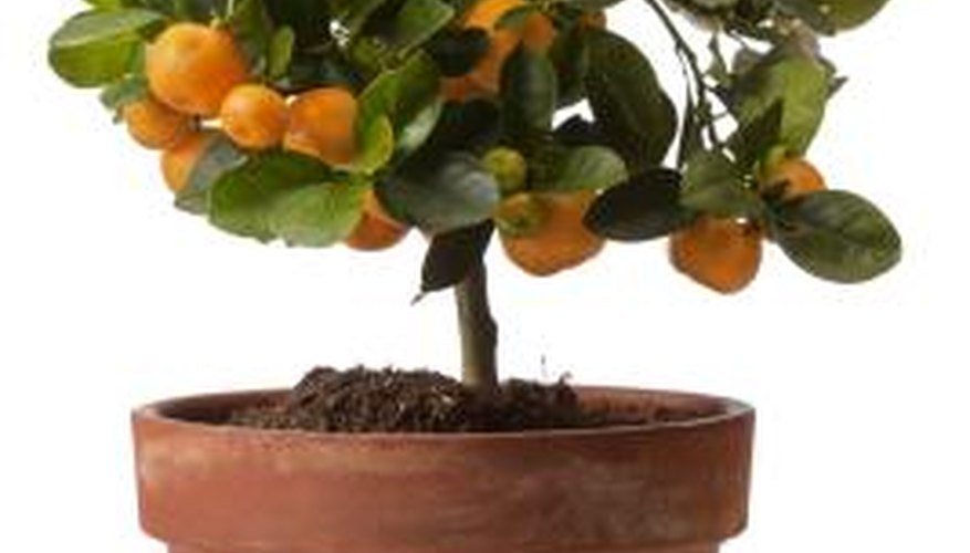 Fertilizer Should Always Be Used Sparingly On Citrus Trees.