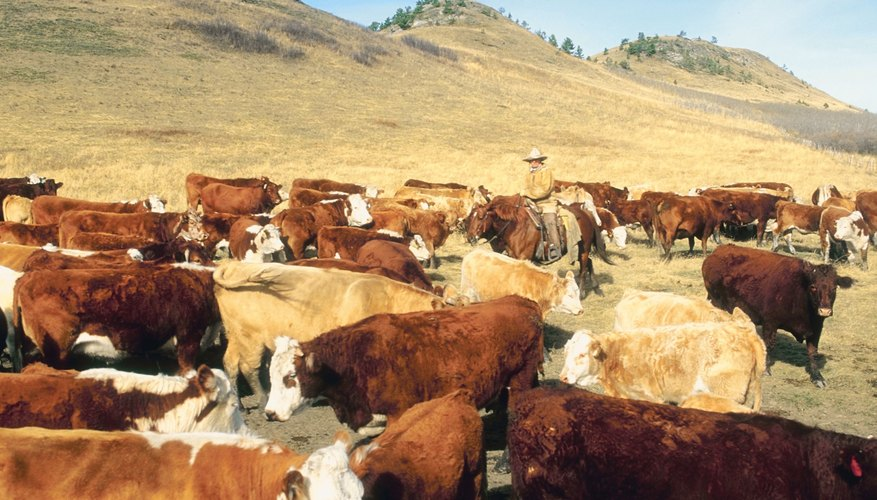 The Importance of Horses on a Cattle Drive