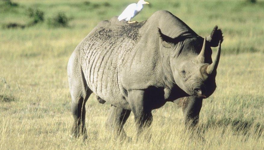 Los rinocerontes son cazados debido a que se cree que sus cuernos tienen propiedades medicinales haciendo que varias especies estén en peligro de extinción.