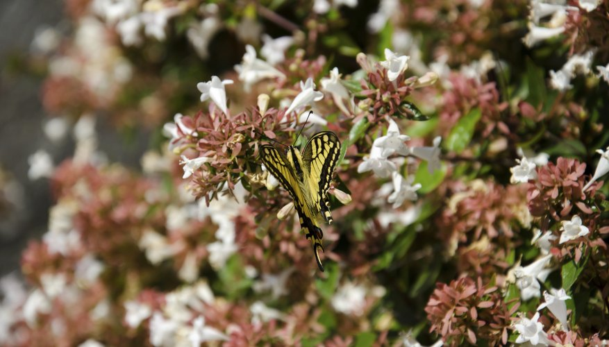 A butterfly landing on a thick wall of abelia flowers.