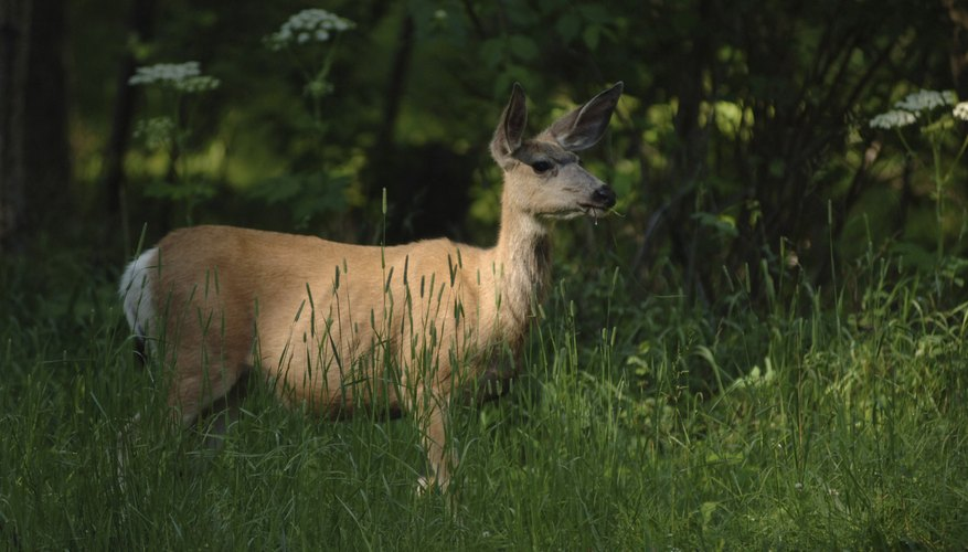 Providing forage for deer means you may see a lot of them.