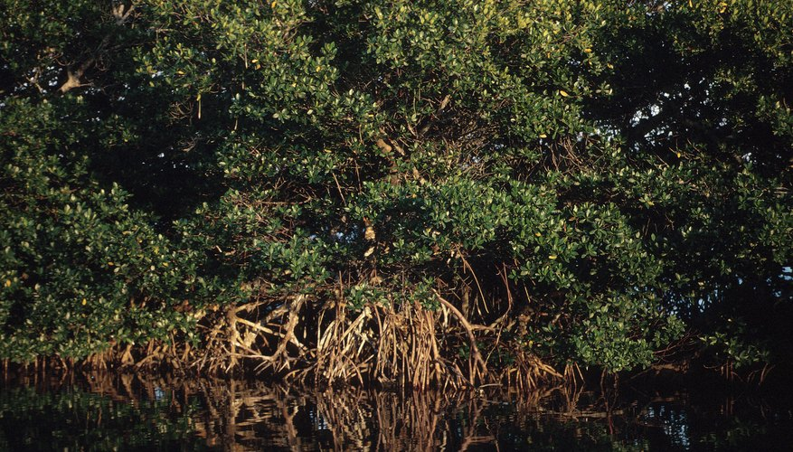 Tidal fluctuations help set the mangrove swamp's ecological rhythm.