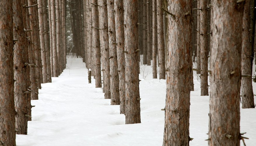 Snow covers the ground of a pine tree plantation.
