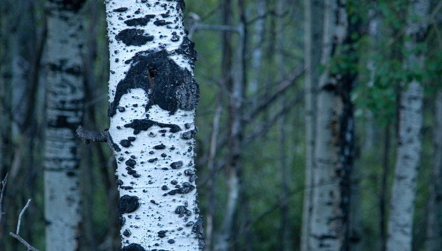 Most aspens have white bark.